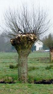 eteter branches saule